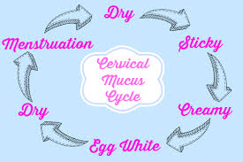 mucus cycles